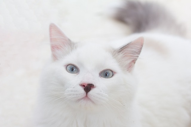 white cat with long hair